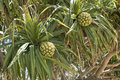 Fruits de screwpine pandanus Photo stock