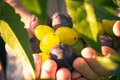 Fruits hands plums grapes light sun Royalty Free Stock Photo