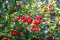Fruits of hawthorn decorative in the beginning of autumn on a sunny day. Moscow region, Russia Royalty Free Stock Photo