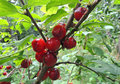 Fruits of the Nanking cherry Royalty Free Stock Photo