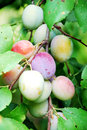 Fruits of plum tree Stock Images