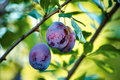 Fruits of plum tree in garden Royalty Free Stock Image