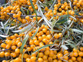 Fruits of sea-buckthorn berries Stock Photography