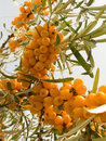 Fruits of sea-buckthorn berries Stock Image