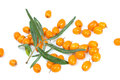 Fruits of sea buckthorn latin hippophae isolated on white background Royalty Free Stock Images