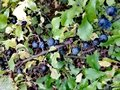 Fruits of sloes in autumn Royalty Free Stock Photo