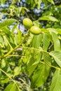 Fruits walnut two green juglans regia l persian english Stock Images