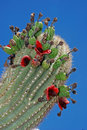 Fruity saguaro Royalty Free Stock Photo