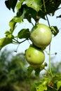 Fruta de paixão fresca Foto de Stock