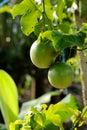 Fruta de pasión fresca Fotos de archivo