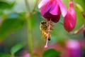 Bee on fuchsia flower