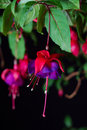 Fuchsia bloom Royalty Free Stock Image