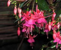 Fuchsia In Bloom Royalty Free Stock Photo