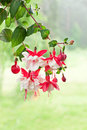 Fuchsia bunch of a blossoming on a natural background Royalty Free Stock Photography