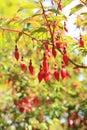Fuchsia bush in an ornamental garden Royalty Free Stock Photo