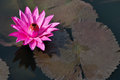 Fuchsia colored star lotus flower nymphaea nouchali or water lily in water pond Royalty Free Stock Image