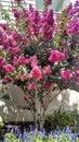 Crepe Myrtle Pink in Wildwood NJ
