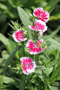 Fuchsia dianthus chinensis flower is species of native Stock Images