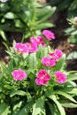 Fuchsia dianthus flower is species of native Stock Photography