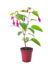 Fuchsia flower with buds in a pot white background Royalty Free Stock Photography
