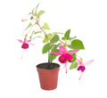Fuchsia flower houseplants in flower pot Stock Image