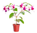 Fuchsia flower houseplants in flower pot isolated on white background Stock Photography