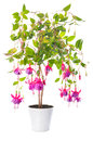 Fuchsia flower houseplants in flower pot tennessee walts isolated on white background Stock Photos