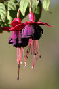 Fuchsia flower macro pink and purple Stock Image