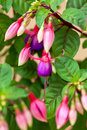 Fuchsia flower in summer day Royalty Free Stock Image