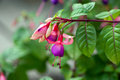 Fuchsia flower in summer day Royalty Free Stock Photos