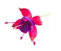 Fuchsia flower on white Royalty Free Stock Photo