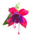 Fuchsia flower on white Royalty Free Stock Photo