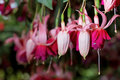 Fuchsia Flowers Stock Photo