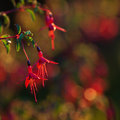 Fuchsia flowers in early morning light Stock Image