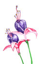 Fuchsia flowers watercolor flowering plants purple and pink Royalty Free Stock Photo