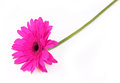 Fuchsia gerbera flower  on white Stock Photography