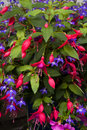 Fuchsia and lobelia Royalty Free Stock Photo