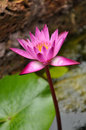 Fuchsia Lotus Stock Photography