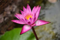 Fuchsia Lotus Stock Photo