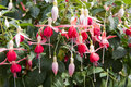 Fuchsia Magellanica in an ornamental garden Royalty Free Stock Photography