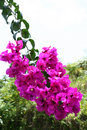 Fuchsia pink bougainvilleas Royalty Free Stock Photos