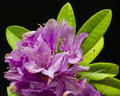 Fuchsia rhododendron with green leaves on black background Royalty Free Stock Photo