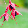 Fuchsia Trio Stock Images