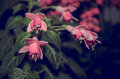 Fucsia flower in the garden the name of the it s also the name of the color Royalty Free Stock Images