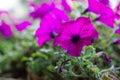 Fucsia surfinia closeup a kind of petunia Royalty Free Stock Image