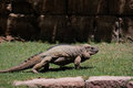 FUENGIROLA, ANDALUCIA/SPAIN - JULY 4 : Rhinoceros Iguana Cyclur Royalty Free Stock Photo