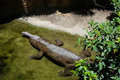 FUENGIROLA, ANDALUCIA/SPAIN - JULY 4 : Tomistoma Tomistoma schl Royalty Free Stock Photo