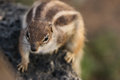 Fuerteventura squirrel on the island spain Royalty Free Stock Photography