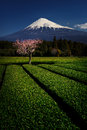 Fuji with Plum Blossom and Green Tea Royalty Free Stock Photo