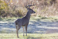 At full alert big whitetail deer buck on in field Royalty Free Stock Photography